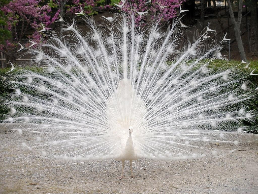 White-Peacock-wild-animals-2688069-1024-768.jpg