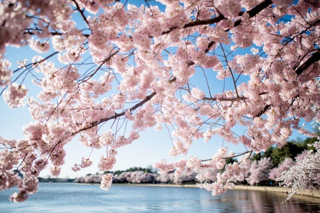 cherry-blossoms-washington-dc-april-01-2019-418x-1068x713-1.jpg